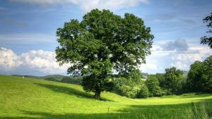 So sieht der älteste Baum der Welt aus
