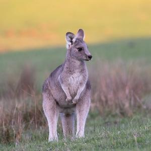 Känguru - Art-Beschreibung und Definition
