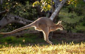 kanguru fell farbe 300x189 - Känguru - Art-Beschreibung und Definition