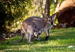 kangurus finden leben 300x207 - Känguru - Art-Beschreibung und Definition