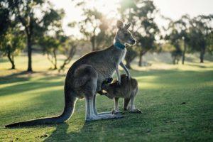 weibliche kanguru junges 300x200 - Känguru - Art-Beschreibung und Definition