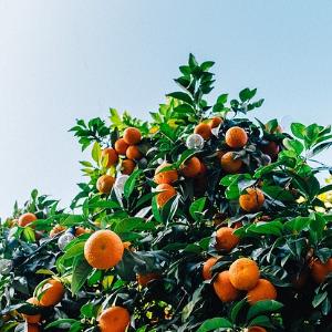 Clementine oder Mandarine: Der Unterschied