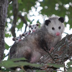 Lebensraum und Lebensweise des Opossums