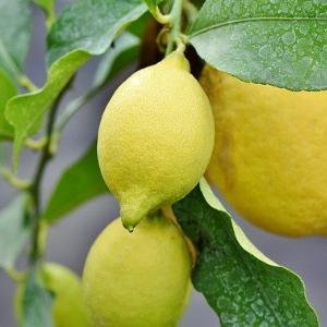 Wie züchtet man einen Zitronenbaum im Topf? Wichitge Tipps
