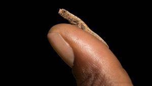 brookesia nana das kleinste reptil 300x169 - Dieses Chamäleon ist das kleinste lebende Reptil der Welt