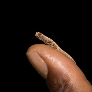 Das kleinste Chamäleon Brookesia nana