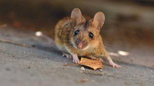 maus evolution vorhersehbar 300x169 - Mäuse zeigen, dass Evolution vorhersehbar ist