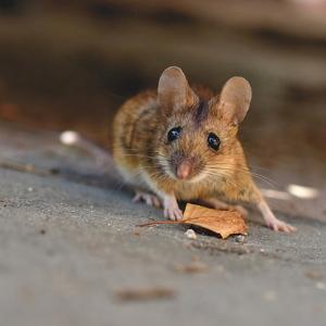 Mäuse zeigen, dass Evolution vorhersehbar ist