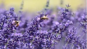 plastik und bienen 3 300x169 - Bienen sammeln neben Pollen auch Mikroplastik