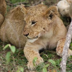 Südafrika beendet Zucht von gefangenen Löwen