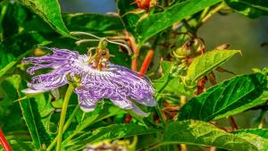 Hilft die Wirkung der Passionsblume einzuschlafen?