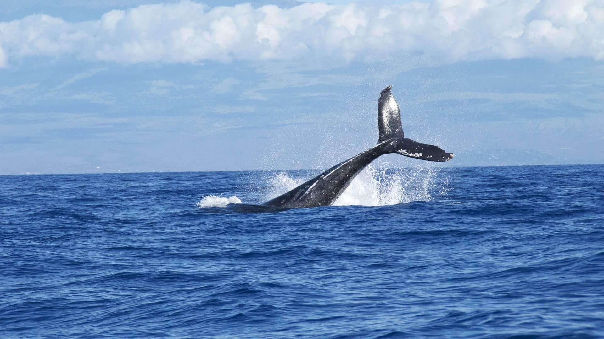 Eine neue Blauwal Population durch Atombomben Detektor entdeckt