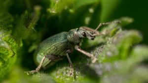 Pyrethrum als ein natürliches Schädlingsbekämpfungsmittel