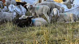 Ziegen und Schafe - Was sind die Unterschiede