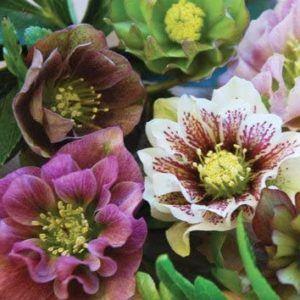 Quels sont les différents types de roses de noel existe t-il ?